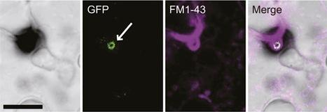 Plant Cell: Colletotrichum orbiculare Secretes ... | Fungal effectors | Scoop.it