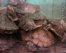 Sale of live turtles for food in Tesco's China stores | Nature Animals humankind | Scoop.it