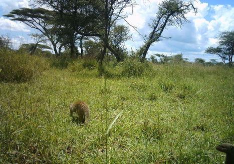Snapshot Serengeti | @ThorMercury1 Promotes Science | Scoop.it