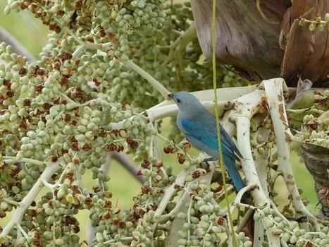 Photo de Thraupidé : Tangara évêque - Tangara bleu - Thraupis episcopus - Blue-gray Tanager   Fauna Free Pics - Public Domain - Photos gratuites d'animaux   Scoop.it