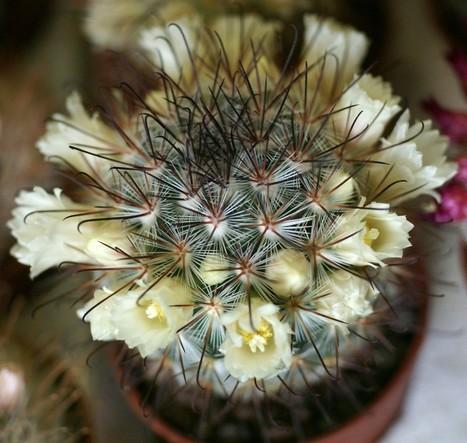 Photo de Cactus du Mexique : Mammillaria moelleriana - Mammillaria cowperae   Cactus and Succulents : Photos de cactus et de plantes grasses gratuites et libres de droits   Scoop.it