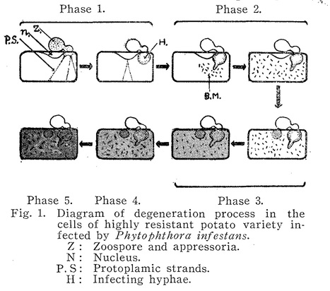 Phytopathological Society of Japan: Cell physiological studies on the resistance of potato plant to Phytophthora infestans (1956) | Plants and Microbes | Scoop.it