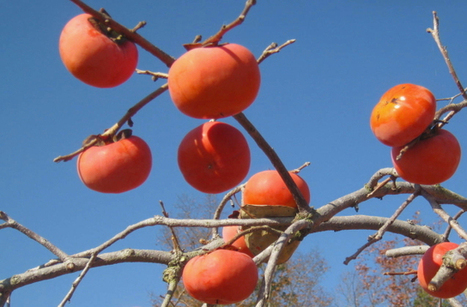 Plant A Persimmon! – The Daily South | Your Hub for Southern Culture | Annie Haven | Haven Brand | Scoop.it