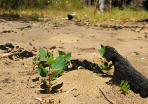 Restoration of Tuart (Eucalyptus gomphocephala) during prescribed burning in southwestern Australia | Australian Plants on the Web | Scoop.it
