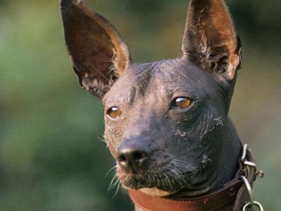 Conoce al Xoloitzcuintle, el perro Mexicano - Taringa! | perros | Scoop.it
