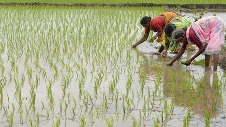 Indian farmers rolling in clover with new drought-resistant rice strains | Asia's middle class- for Secondary teachers | Scoop.it