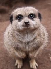 Read - Mad About Meerkats   Meerkats   Scoop.it