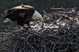 Bald eagles expand territory in California islands - The Sacramento Bee | Sustain Our Earth | Scoop.it