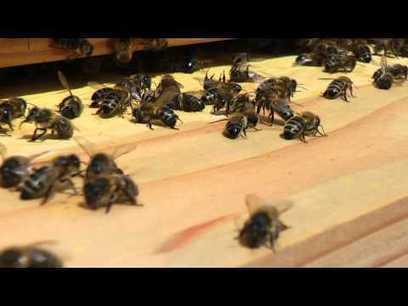 [Vidéo] Abeille - Histoire d'une intoxication | Variétés entomologiques | Scoop.it
