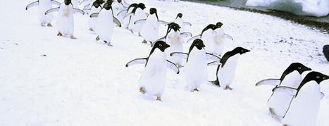 Ornithologie: Das Gerücht von den toten Pinguinen | Amocean MeerWissen | Scoop.it
