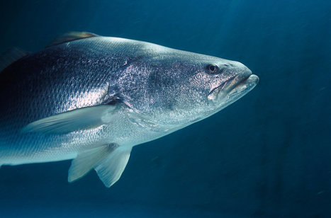 Chinese Taste For Fish Bladder Threatens Tiny Porpoise In Mexico   Oceans and Wildlife   Scoop.it