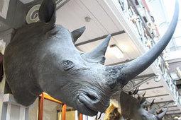 Vile rhino thugs swindling Pensioners | What's Happening to Africa's Rhino? | Scoop.it