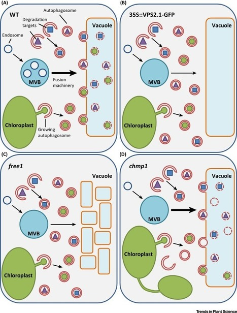Autophagy in Plants – What's New on the Menu? | Plant-Microbe Interaction | Scoop.it