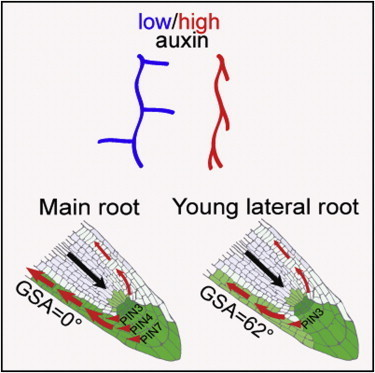 Current Biology - An Auxin Transport Mechanism Restricts Positive Orthogravitropism in Lateral Roots | Hormones in Plant Development | Scoop.it