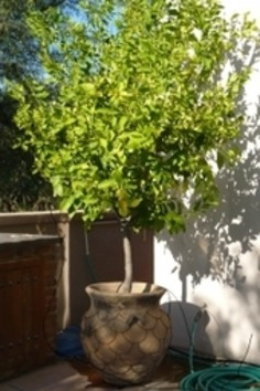 The Potted Desert Garden: My Potted Tree Is Too Big!   Container Gardening   Scoop.it