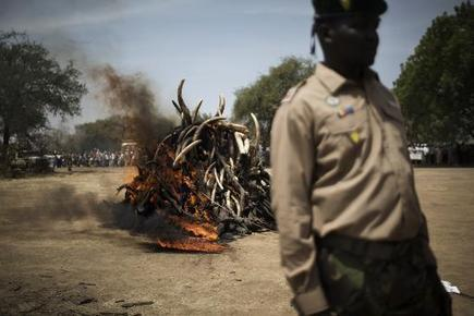 Smuggled elephant ivory price triples | GarryRogers NatCon News | Scoop.it