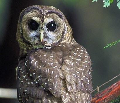 Population Decline of the Northern Spotted Owl - Conservation Articles & Blogs - CJ   Wildlife and Conservation   Scoop.it