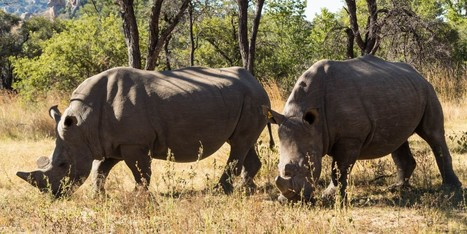 Zimbabwe Dehorning All Adult Rhinos to Curb Poaching   Let's End Poaching   Scoop.it