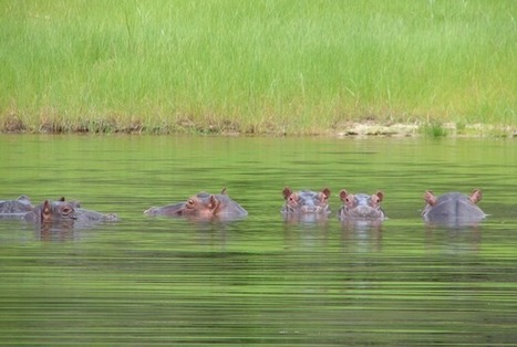 Zambian Government Resumes Cull of 2000 Hippos | Nature Animals humankind | Scoop.it