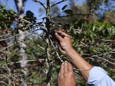 Coffee plant fungus raises prices, hurts farms, economy - Tuscaloosa News | Costa Rica | Scoop.it