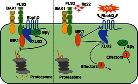eLife: Arabidopsis heterotrimeric G proteins regulate immunity by directly coupling to the FLS2 receptor (2016) | Plants and Microbes | Scoop.it