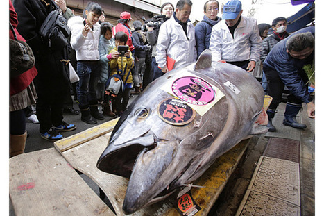 Bluefin tuna prices plunge, despite shortage (+video) - Christian Science Monitor   Sustainable Sushi   Scoop.it