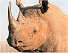 CNS - Delta Airlines Need Not Transport Rhino Trophy | Trophy Hunting: It's Impact on Wildlife and People | Scoop.it