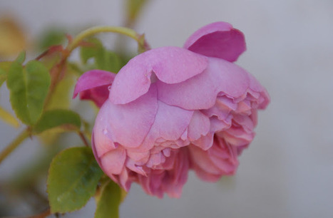 Organic Garden Dreams: February Roses | Rose gardening for everyone | Scoop.it