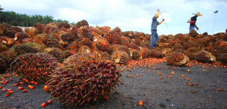A Busy Week for Palm Oil Sustainability: Indonesia Cops Out, Singapore Steps In | Sustainable Brands | Responsible Sourcing | Scoop.it