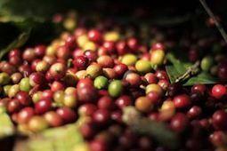 Perú.- Temores por hongo en café de Centroamérica eleva precios ... - Europa Press | Café | Scoop.it
