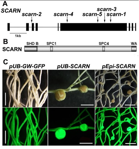 SCARN a Novel Class of SCAR Protein That Is Required for Root-Hair Infection during Legume Nodulation | Plant-Microbe Interaction | Scoop.it