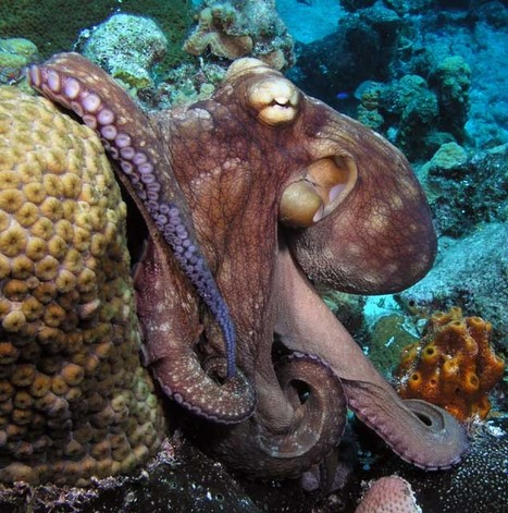 10 curious facts about Octopuses | FOOD TECHNOLOGY  NEWS | Scoop.it