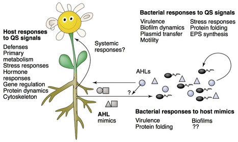 Current Opinion in Plant Biology: Plant responses to bacterial quorum sensing signals (2004) | Plants and Microbes | Scoop.it