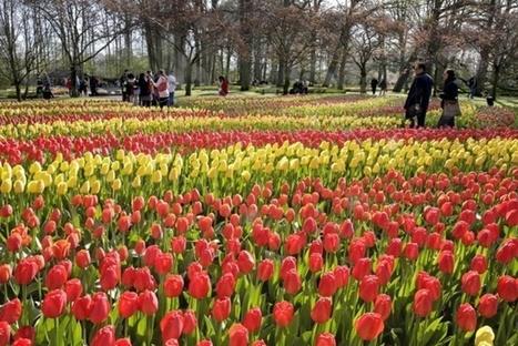 Pays Bas : le plus beau parc printanier du monde revient à Keukenhof - TourMaG.com | La Location de plantes | Scoop.it