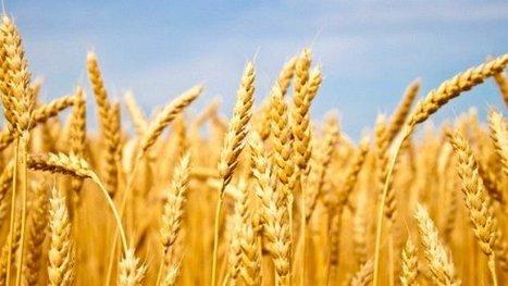 Poluição atmosférica pode reduzir quantidade de proteínas nos alimentos - veja.com | Science, Technology and Society | Scoop.it