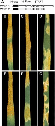 Wheat Stripe Rust Resistance Protein WKS1 Reduces the Ability of the Thylakoid-Associated Ascorbate Peroxidase to Detoxify Reactive Oxygen Species | Plant Pathology | Scoop.it