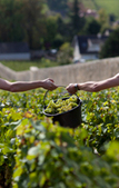 N°36 - EDITORIAL - THE 2013 VINTAGE: THE HARVEST IN BOURGOGNE | Southern California Wine and Craft Spirits Journal | Scoop.it