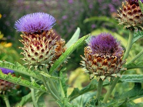 What the Heck Do I Do With a Cardoon? | Erba Volant - Applied Plant Science | Scoop.it