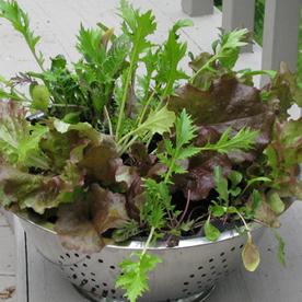 Vegetable of the Month: Lettuce   School Gardening Resources   Scoop.it