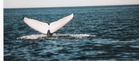 WHALES: Finding the Humpback Whale in Atlantica. | FUNDY TIDES | Scoop.it