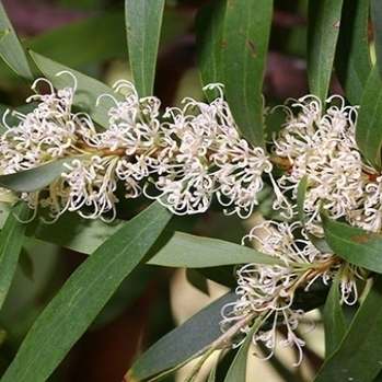Invasive Species South Africa - Willow hakea (Hakea salicifolia) | Australian Plants on the Web | Scoop.it