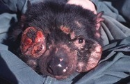 Infectious cancer of Tasmanian devil - can it happen to human? | Amazing Science | Scoop.it