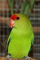 Papugi (Psittaciformes) Ptaki ozdobne   Papugi   Scoop.it