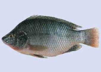 Tilapia fish output increases 35-fold in a decade - Financial Express Bangladesh | aquaculture nutrition | Scoop.it