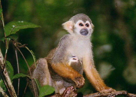 Don't get a pet squirrel monkey. They're more crude than cute—and they belong in the jungle.   Oceans and Wildlife   Scoop.it