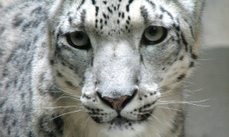 Stem cells could save snow leopards | Science Tools for School | Scoop.it