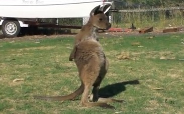 Daily Cute: Meet Frank the Super Cute Joey Kangaroo | Nature Animals humankind | Scoop.it