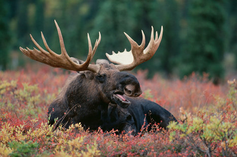 Should We Be Worried About North American Moose? | Biodiversity protection | Scoop.it