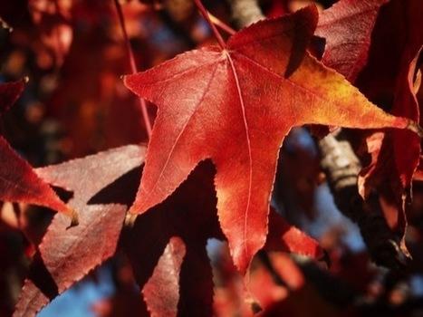 Liquidambar Leaves [Photo] | A Gardener's Notebook | Douglasewelch | Scoop.it