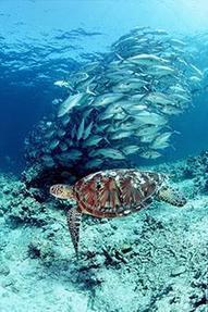 #SeaTurtleRestoration Project:50 Ways to Help #SavetheOcean   Rescue our Ocean's & it's species from Man's Pollution!   Scoop.it